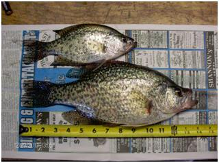 Crappie are the most popular panfish caught by anglers in Arkansas